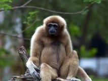 Lar Gibbon. Stock Photography