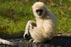 Lar gibbon (Hylobates lar). A young white lar gibbon Royalty Free Stock Photography