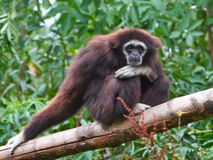 Lar Gibbon (Hylobates Lar) Royalty Free Stock Photography