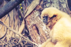 Lar gibbon Hylobates lar Royalty Free Stock Photo