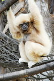 Lar gibbon Hylobates lar Royalty Free Stock Photography