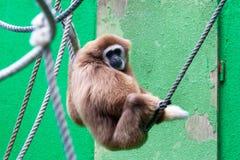 Lar Gibbon, Hylobates lar Stock Photography