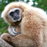 Lar gibbon (Hylobates lar) Royalty Free Stock Images