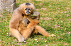 Lar gibbon with its young on grass Stock Image
