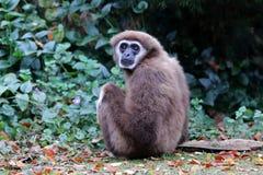 Lar gibbon. Sitting on the ground Royalty Free Stock Photography