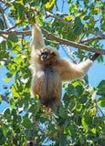 Lar gibbon. Lar gibbon on the tree. Hylobates lar Royalty Free Stock Photos