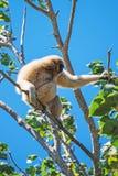 Lar gibbon. Lar gibbon on the tree. Hylobates lar Royalty Free Stock Images
