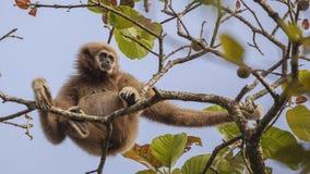 Lar Gibbon Looking For Fruit royaltyfria bilder