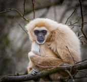 Lar gibbon. Looking straight at camera stock images