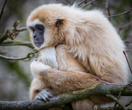Lar gibbon. Looking straight at camera stock image