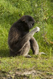 Lar gibbon is looking at what he has in his hand Royalty Free Stock Image