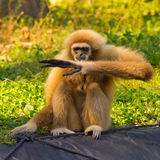 Lar gibbon. Monkey checks on the clock what time it is Royalty Free Stock Images