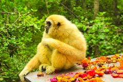 White Handed Lar Gibbon. Lar Gibbon Monkey. Gibbon eating in the forest, Hylobates Lar species in Indonesia, Malaysia and Thailand, between southwest China to Royalty Free Stock Photography
