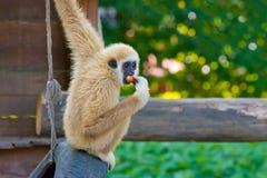 Lar gibbon. Monkey trying to eat a lollipop Royalty Free Stock Photo