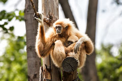 Lar gibbon mother and baby Stock Images