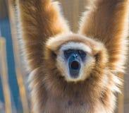 Lar Gibbon-Nahaufnahme Stockfoto