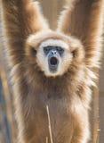 Lar Gibbon-Nahaufnahme Stockbild