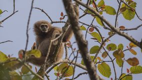 Lar Gibbon Perching On Tree fotografia de stock royalty free