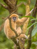 Lar gibbon resting on branch in rainforest jungle Royalty Free Stock Photo