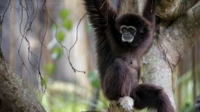 Lar Gibbon is resting on tree branches at the forest. Wild Hylobates Lar stock image