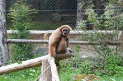 Lar gibbon sight Stock Image