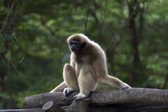 Lar Gibbon sur l'arbre Image stock