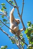 Lar gibbon. Lar gibbon on the tree. Hylobates lar Stock Images