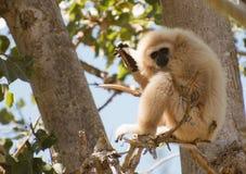 Lar gibbon. Lar gibbon on the tree. Hylobates lar Royalty Free Stock Photo