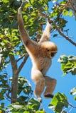 Lar gibbon. Lar gibbon on the tree. Hylobates lar Stock Photography