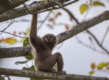 Lar Gibbon On Tree. Lar gibbon, aka, white-handed gibbon, Hylobatidae, is sitting on top of tree with clear blue sky at Kaeng Krachan National Park in Thailand Stock Photos