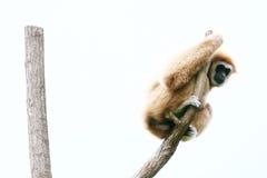 Lar Gibbon on the tree Royalty Free Stock Image