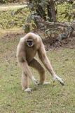 Lar gibbon Royalty Free Stock Photography