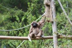 Lar gibbon watching you royalty free stock images