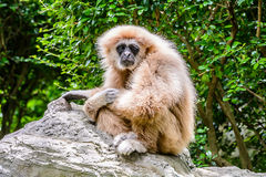 Lar Gibbon. Stock Image