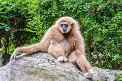 Lar Gibbon. Stock Photography