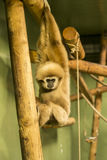 Lar Gibbon / White-Handed Gibbon (Hylobates lar) Stock Photo