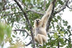Lar gibbon or white-handed gibbon. Hylobates lar in Khao Yai National Park, Thailand Royalty Free Stock Photo