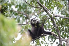 Lar gibbon or white-handed gibbon Royalty Free Stock Photography