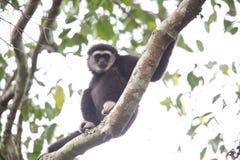 Lar gibbon or white-handed gibbon. Hylobates lar in Khao Yai National Park, Thailand Royalty Free Stock Images