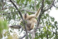 Lar gibbon or white-handed gibbon. Hylobates lar in Khao Yai National Park, Thailand Stock Image