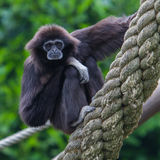 Lar Gibbon, or a white handed gibbon Royalty Free Stock Image