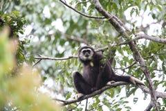 Lar gibbon or white-handed gibbon. Hylobates lar in Khao Yai National Park, Thailand Stock Images