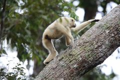 Lar gibbon or white-handed gibbon. Hylobates lar in Khao Yai National Park, Thailand Royalty Free Stock Photography