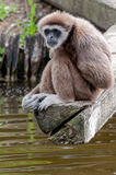 Lar Gibbon, or a white handed gibbon thinking Royalty Free Stock Images