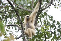 Lar gibbon or white-handed gibbon. Hylobates lar in Khao Yai National Park, Thailand Stock Photos