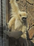 A lar gibbon in a zoo is hanging down from bars Stock Photography