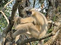 Lar lar van gibbonhylobates, ook als de wit-overhandigde gibbon wordt bekend, is een bedreigde primaat in de gibbonfamilie die stock afbeeldingen