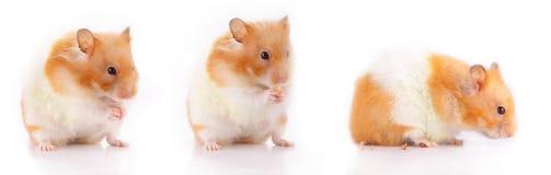 Lara der Hamster Lizenzfreies Stockbild