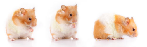 Lara the Hamster. A collection of Lara (hamster) in 3 different poses; first, she is asking for food, second, she is eating cheese and third, she is bowing her Royalty Free Stock Image