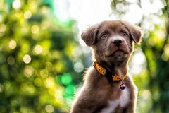 Larador puppy dog with bokeh background. Portrait of curious Brown larador retriever puppy looking above against sunset foliage bokeh background wth copy space Royalty Free Stock Image